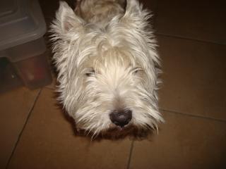 Westie de 4 ans à adopter! Droopy-38d5b48