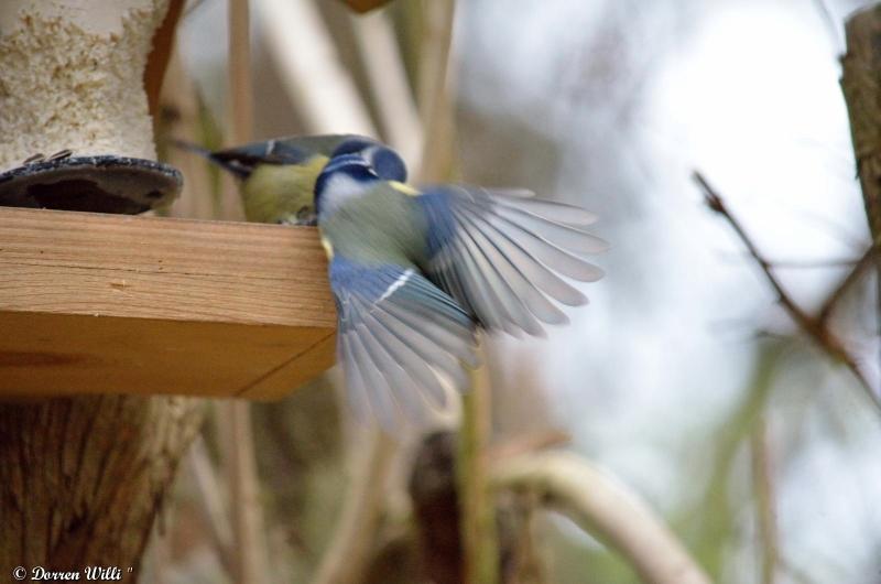 Bagarre entre 2 mésanges bleue / 26 nov 2012 Dpp_-oiseaux---0003-39ecb8b