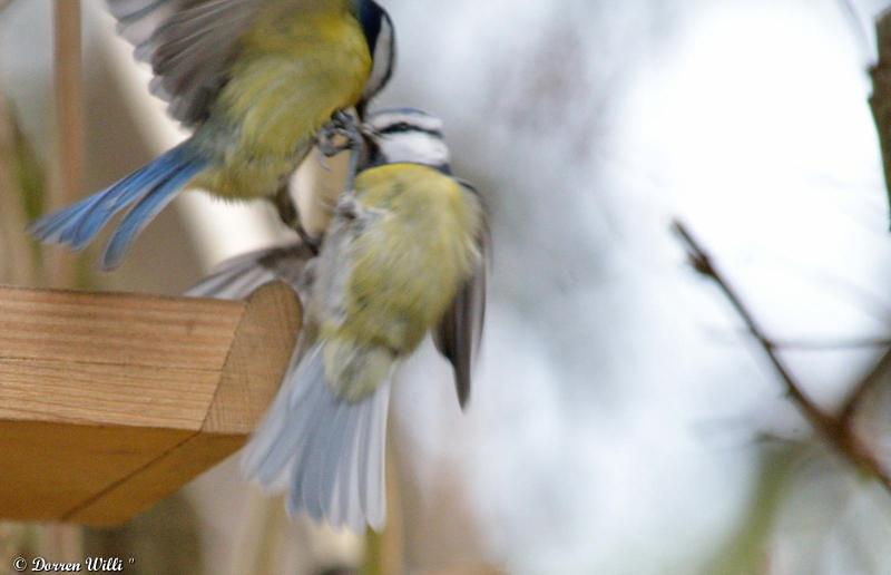 Bagarre entre 2 mésanges bleue / 26 nov 2012 Dpp_-oiseaux---0004-39ecb93